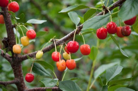 cherry tree varieties garden design ideas