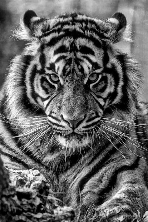 best 25 tiger tattoo ideas on pinterest white tiger