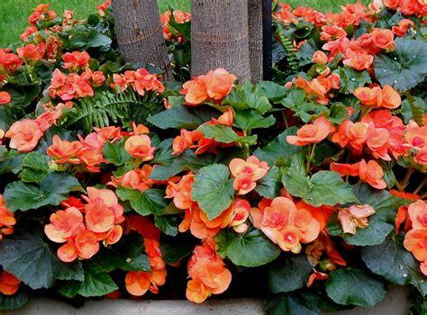 Knollwood Garden Center by Image Gallery Orange Rieger Begonia