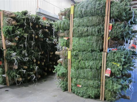 homedepot tree live trees home depot photo album