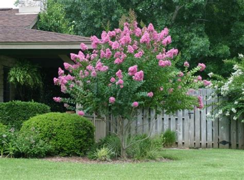 flowering trees for small gardens crape myrtle powdery mildew harris county horticulture