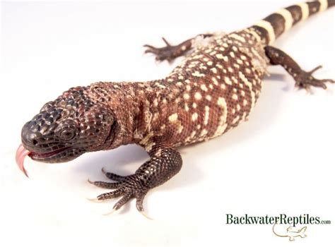 mexican beaded lizard care which lizards are venomous
