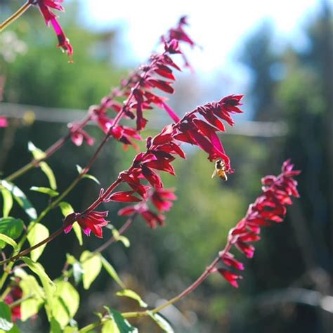 hummingbird plant hummingbird plant garden foreplay