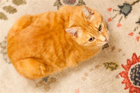 orange cat orange cat oleg volk