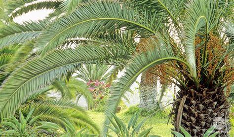 palmier vari 233 t 233 s plantation entretien conseils plantes m 233 diterran 233 ennes truffaut