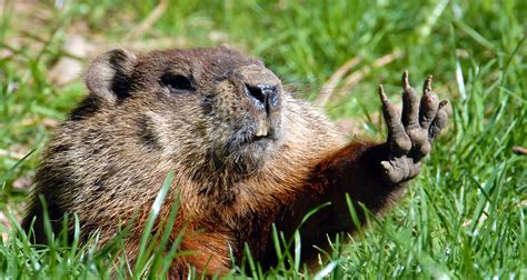 groundhog day prediction will come early ask us not the groundhog