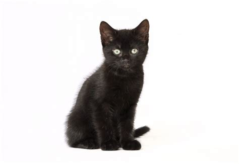 cat black don t focus on the photos snap up a black cat 171 rspca news