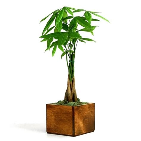 how to pot a tree money tree wooden pot from easternleaf