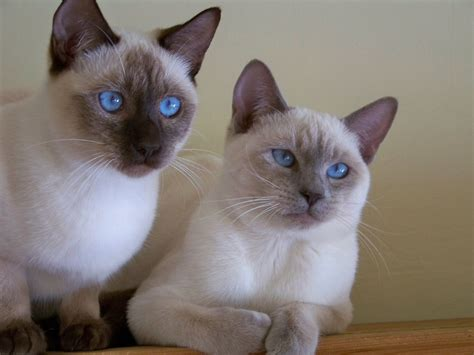 for cat sold exceptional style siamese kittens haywards
