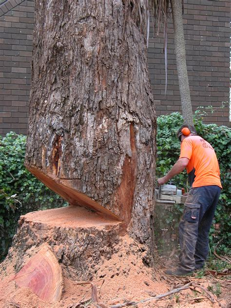 cutting tree felling trees