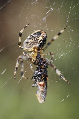 Garden Spider Prey The Naturalists Notebook The Of The Merseyside
