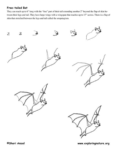 free drawing lessons bat mexican free tailed drawing lesson