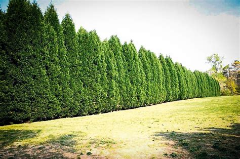 leyland cypress trees leyland cypress the best privacy tree the tree center