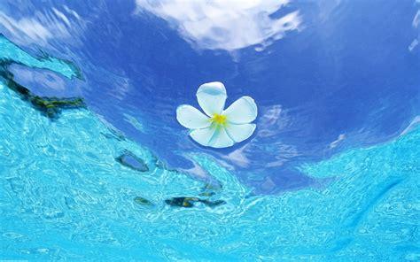 floating water plumeria wallpaper 10962