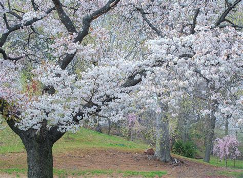 branch brook park cherry blossom festival 2018 splurgefrugal