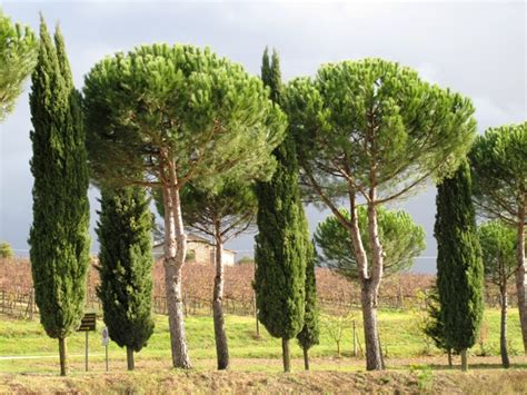 trees in italy board expected to defer pines of italy permit request