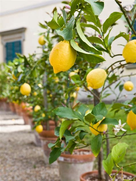 pot tree growing fruit trees in containers hgtv