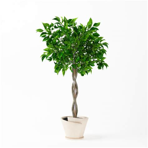 potted tree potted patio plant with braided tree trunk 3d model