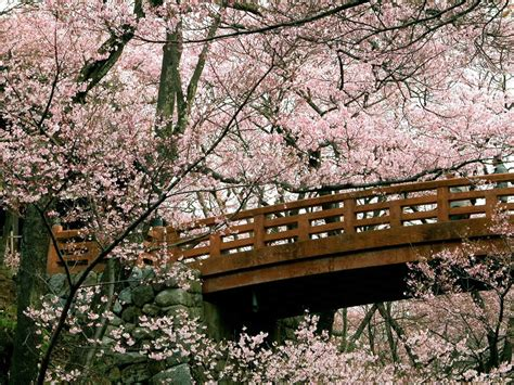 cherry blossom images cherry blossom images cherry blossom wallpapers hd