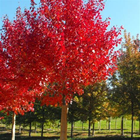 ornamental bare root trees scotplants direct