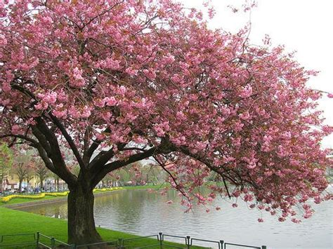 7 cherry tree 7 best images about cherry tree inspiration on cherry tree blossom trees and