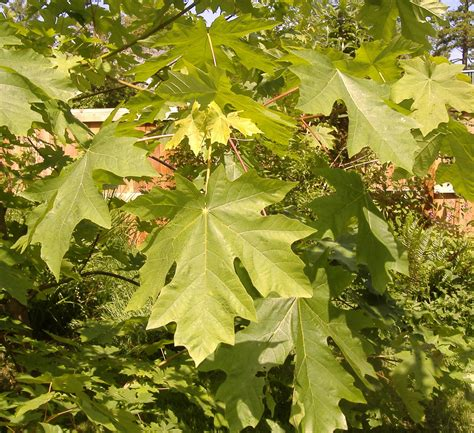 maple tree leaves maple trees which types are best for firewood syrup shade foliage the grid news