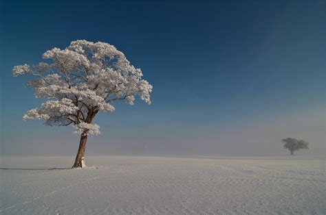 tree with snow snow covered tree wallpapers and images wallpapers