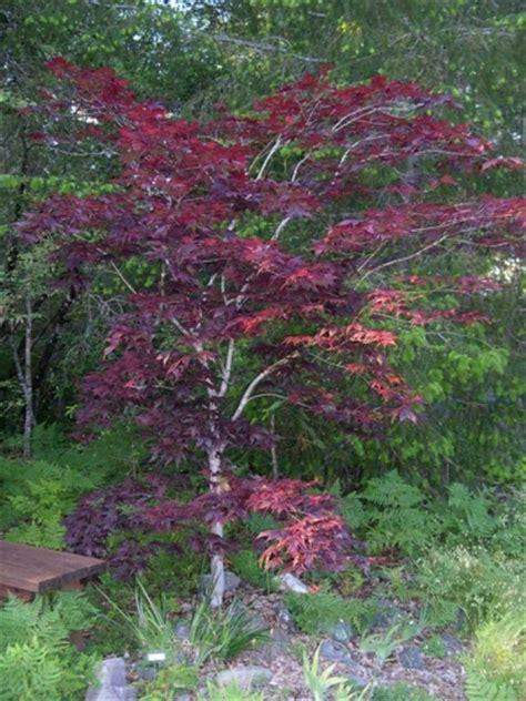 maple tree types japanese maple tree varieties page 2 mendocino maples nursery