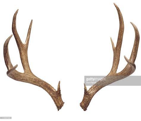 deer antler deer antlers stock photo getty images