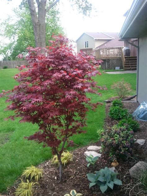 maple tree small yard 54 best japanese maples landscaping images on beautiful garden and gardening