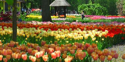 tulip flower garden tulip flower garden flower garden pictures
