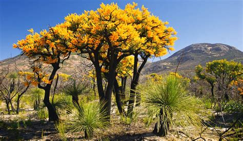 western australian tree trees at cape le grand np australian traveller