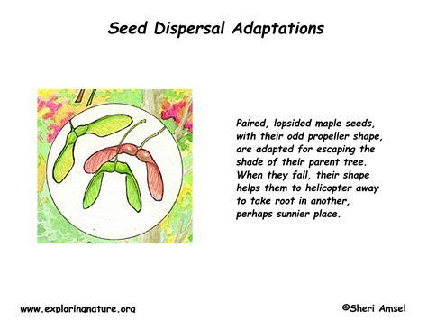 maple tree adaptations maple adaptations