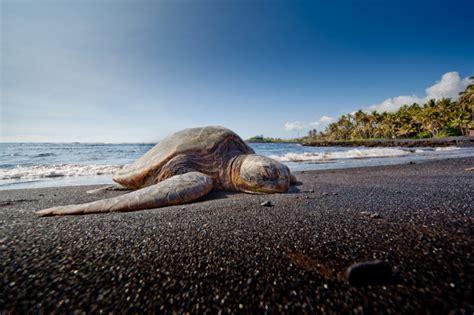 Punaluu Beach reisef 252 hrer hawaii urlaub mit lebenshauch f 252 r verliebte