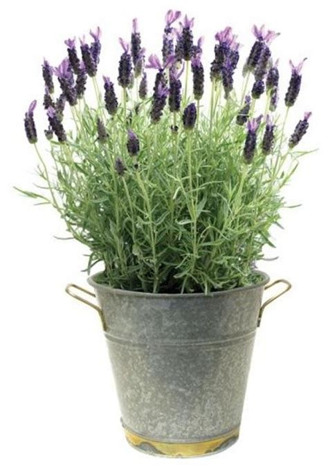 traditional plants lavender plant traditional plants by home decorators