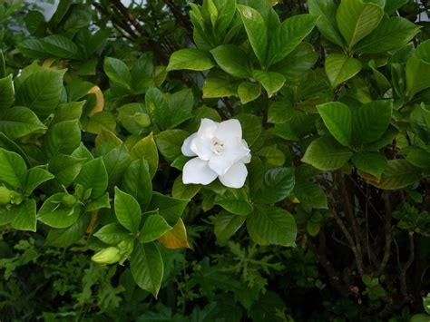 Gardenia Bush Garden Bud Drop Why Do Gardenia Buds Fall From Plant