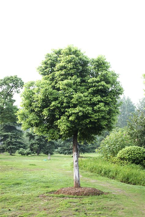 tree of caring for chor tree how to grow chor trees in the