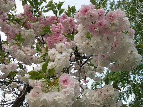 25 b 228 sta cherry fruit tree id 233 erna p 229 frukttr 228 de och frukttr 228 dg 229 rd