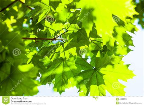 maple tree green leaves green maple leaves in the stock photo image 43823720