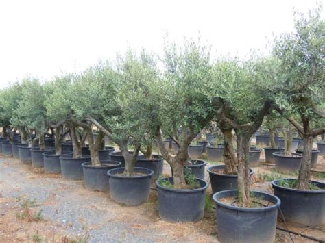 small trees for sale arbequina olive tree for sale free