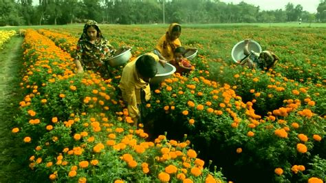 marigold flower garden marigold flower garden in bangladesh how to plant grow