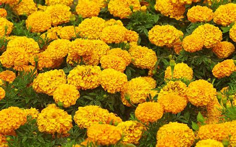 marigold flower garden marigold flower garden wallpapers hd free for desktop hd