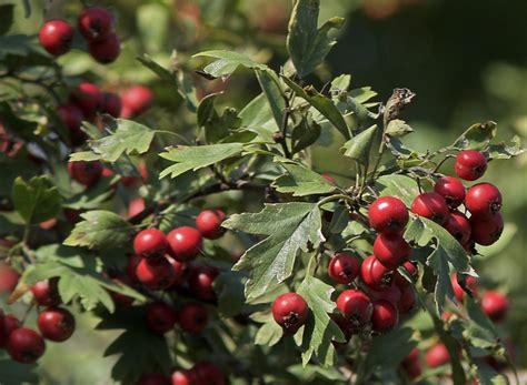 hawthorne tree hawthorn tree growing guide for edible hawthorn berries