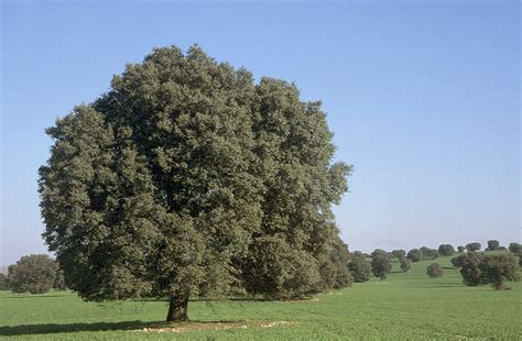 trees in spain our amazing treasure nature encina evergreen oak