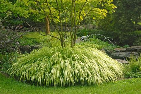 traditional plants golden japanese forest grass traditional plants
