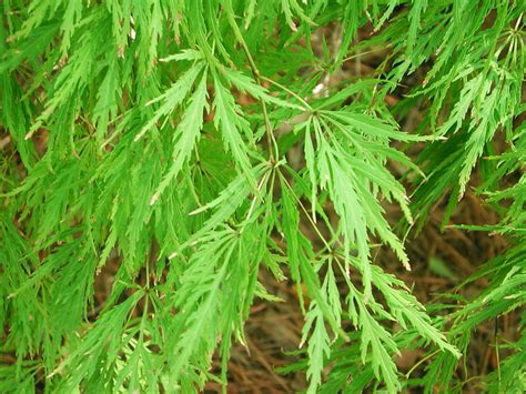 maple tree green leaves lace leaf japanese maple comes in green garden japanese maple plants and gardens