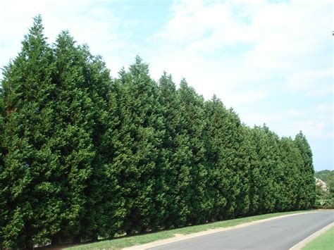 fast growing trees image gallery leyland spruce trees