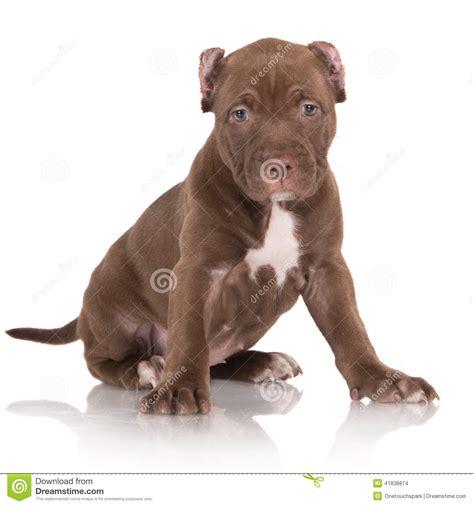brown pit brown pitbull terrier www pixshark images