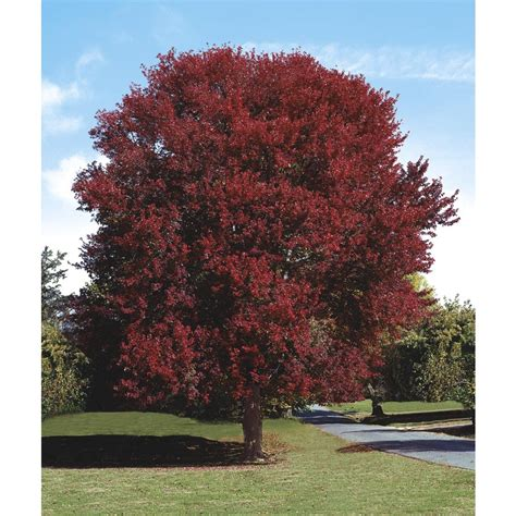 shop 5 5 gallon burgundy maple shade tree l2079 at lowes