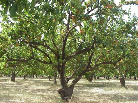tree pic apricot tree pictures